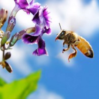 Bee On Flower Widescreen Wallpapers