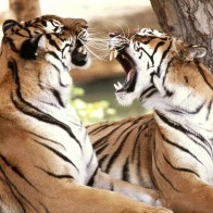 Bengal Tigers Wallpapers