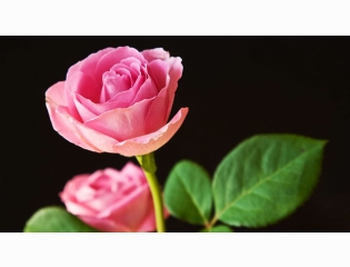 Best Pink Roses