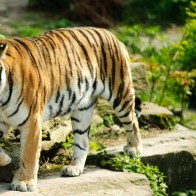 Best Tiger Wallpapers