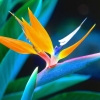 Download bird of paradise, bird of paradise  Wallpaper download for Desktop, PC, Laptop. bird of paradise HD Wallpapers, High Definition Quality Wallpapers of bird of paradise.