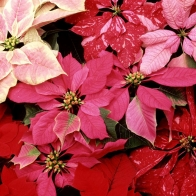 Blooming Poinsettias