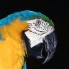 Download blue and yellow macaw hd wallpapers, blue and yellow macaw hd wallpapers Free Wallpaper download for Desktop, PC, Laptop. blue and yellow macaw hd wallpapers HD Wallpapers, High Definition Quality Wallpapers of blue and yellow macaw hd wallpapers.