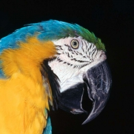 Blue And Yellow Macaw Hd Wallpapers