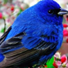 Download blue bird cover, blue bird cover  Wallpaper download for Desktop, PC, Laptop. blue bird cover HD Wallpapers, High Definition Quality Wallpapers of blue bird cover.