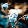 Download blue dandelion, blue dandelion  Wallpaper download for Desktop, PC, Laptop. blue dandelion HD Wallpapers, High Definition Quality Wallpapers of blue dandelion.