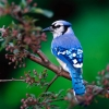Download blue jay hd wallpapers, blue jay hd wallpapers Free Wallpaper download for Desktop, PC, Laptop. blue jay hd wallpapers HD Wallpapers, High Definition Quality Wallpapers of blue jay hd wallpapers.