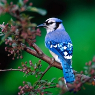 Blue Jay Hd Wallpapers
