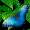 Download blue morpho wallpapers, blue morpho wallpapers Free Wallpaper download for Desktop, PC, Laptop. blue morpho wallpapers HD Wallpapers, High Definition Quality Wallpapers of blue morpho wallpapers.