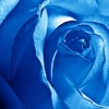 Download blue rose, blue rose  Wallpaper download for Desktop, PC, Laptop. blue rose HD Wallpapers, High Definition Quality Wallpapers of blue rose.