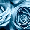 Download blue roses widescreen, blue roses widescreen  Wallpaper download for Desktop, PC, Laptop. blue roses widescreen HD Wallpapers, High Definition Quality Wallpapers of blue roses widescreen.