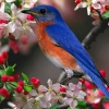 Download bluebird wallpapers, bluebird wallpapers Free Wallpaper download for Desktop, PC, Laptop. bluebird wallpapers HD Wallpapers, High Definition Quality Wallpapers of bluebird wallpapers.