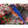 Bluebird Wallpapers