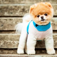 Boo The Cutest Dog Wallpapers