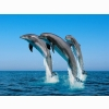 Bottlenose Dolphins Wallpapers