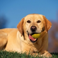 Break Time Yellow Labrador Wallpapers
