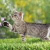 Download british shorthair kitten wallpapers, british shorthair kitten wallpapers Free Wallpaper download for Desktop, PC, Laptop. british shorthair kitten wallpapers HD Wallpapers, High Definition Quality Wallpapers of british shorthair kitten wallpapers.