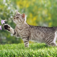 British Shorthair Kitten Wallpapers