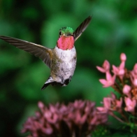 Broadtail Humming Bird Wallpapers