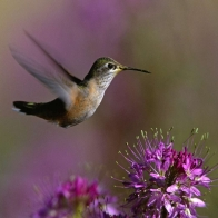 Broadtailed Hummingbird Hd Wallpapers