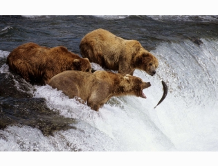 Brown Bears Alaska Wallpapers