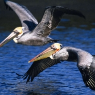 Brown Pelicans In Flight Hd Wallpapers