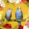 Download budgerigars wallpapers, budgerigars wallpapers Free Wallpaper download for Desktop, PC, Laptop. budgerigars wallpapers HD Wallpapers, High Definition Quality Wallpapers of budgerigars wallpapers.