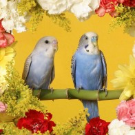 Budgerigars Wallpapers