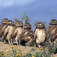 Burrowing Owl Babies Hd Wallpapers