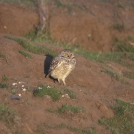 Burrowing Owl Hd Wallpapers