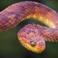 Bush Viper Wallpapers