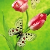 Download butterfly on a tulip, butterfly on a tulip  Wallpaper download for Desktop, PC, Laptop. butterfly on a tulip HD Wallpapers, High Definition Quality Wallpapers of butterfly on a tulip.