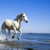 Download camargue white horse wallpapers, camargue white horse wallpapers Free Wallpaper download for Desktop, PC, Laptop. camargue white horse wallpapers HD Wallpapers, High Definition Quality Wallpapers of camargue white horse wallpapers.