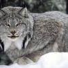 Download canadian lynx wallpapers, canadian lynx wallpapers Free Wallpaper download for Desktop, PC, Laptop. canadian lynx wallpapers HD Wallpapers, High Definition Quality Wallpapers of canadian lynx wallpapers.