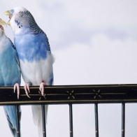 Cantankerous Parakeets Wallpapers