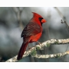 Cardinal Hd Wallpapers