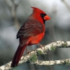 Download cardinal wallpapers, cardinal wallpapers Free Wallpaper download for Desktop, PC, Laptop. cardinal wallpapers HD Wallpapers, High Definition Quality Wallpapers of cardinal wallpapers.