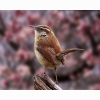 Carolina Wren Hd Wallpapers