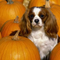 Cavalier King Charles Spaniel Wallpapers