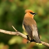 Download cedar waxwing hd wallpapers, cedar waxwing hd wallpapers Free Wallpaper download for Desktop, PC, Laptop. cedar waxwing hd wallpapers HD Wallpapers, High Definition Quality Wallpapers of cedar waxwing hd wallpapers.