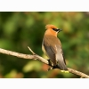 Cedar Waxwing Hd Wallpapers
