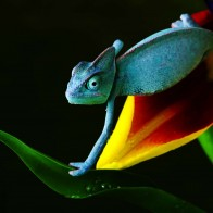 Chameleon In Blue Wallpapers