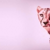 Download cheetah cover, cheetah cover  Wallpaper download for Desktop, PC, Laptop. cheetah cover HD Wallpapers, High Definition Quality Wallpapers of cheetah cover.