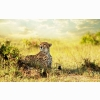 Cheetah Savanna Africa Wallpapers
