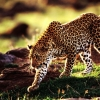 Download cheetah wallpapers, cheetah wallpapers Free Wallpaper download for Desktop, PC, Laptop. cheetah wallpapers HD Wallpapers, High Definition Quality Wallpapers of cheetah wallpapers.
