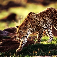Cheetah Wallpapers
