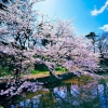 cherry blossom trees,nature landscape Wallpapers, nature landscape Wallpaper for Desktop, PC, Laptop. nature landscape Wallpapers HD Wallpapers, High Definition Quality Wallpapers of nature landscape Wallpapers.