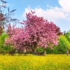 cherry tree hdtv 1080p,nature landscape Wallpapers, nature landscape Wallpaper for Desktop, PC, Laptop. nature landscape Wallpapers HD Wallpapers, High Definition Quality Wallpapers of nature landscape Wallpapers.
