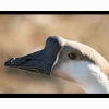Chinese Goose Head Hd Wallpapers