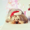 Download christmas dog, christmas dog  Wallpaper download for Desktop, PC, Laptop. christmas dog HD Wallpapers, High Definition Quality Wallpapers of christmas dog.
